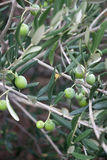Olive Branches Stock Photos