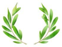Olive Branches Fotografia Stock