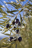 Olive branches Stock Photo