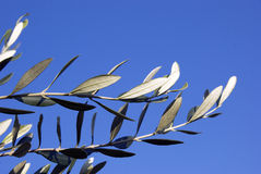 Olive branches. Against blue sky Stock Images