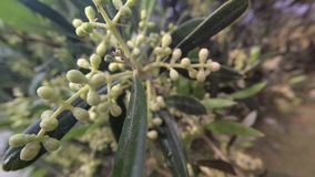 Olive branches in bloom about to leave in spring, movement of soft chamber. stock video