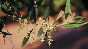 Olive branches in bloom about to leave in spring, movement of soft chamber. Andalusia, Spain stock video