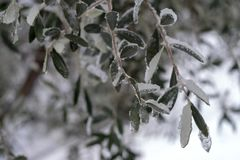 Branch of olive tree, covered in ice stock images