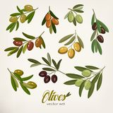 Olive branches with foliage and berries Stock Photo
