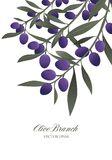 Olive branches and purple olives isolated on white background. Stock Photography