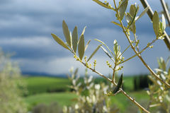 Olive branchs with flowers Royalty Free Stock Image
