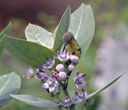 An olive brown female sunbird feeding upon the nectar of Calotropis flower. Royalty Free Stock Photos