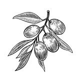 Olive brunch in engraving style Stock Photography