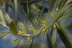 Olive buds. Olive branch with olive buds Royalty Free Stock Images