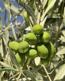 Olive bunch Royalty Free Stock Images