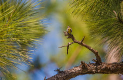 Olive-capped Warbler on a pine tree Stock Image