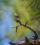 Olive-capped Warbler on a pine tree Stock Photos