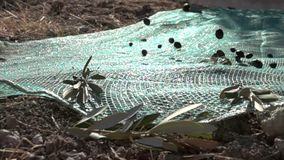 Olive che cadono dall'albero - fps del movimento lento 500 stock footage
