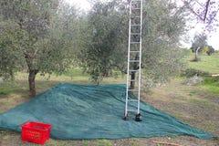 Olive che raccolgono in autunno Immagine Stock Libera da Diritti