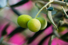 Olive. Closeup view on blurred background Royalty Free Stock Image