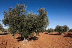 Olive countryside Royalty Free Stock Image
