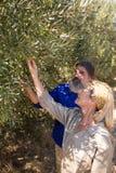Olive d'esame delle coppie sulla pianta Fotografie Stock Libere da Diritti