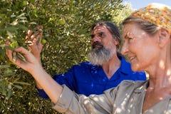Olive d'esame delle coppie sulla pianta Immagine Stock Libera da Diritti