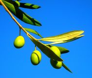 Olive in Dalmatien Stockbild