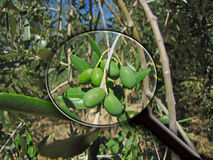 Olive de loupe Photographie stock
