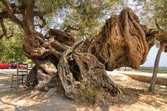Olive de monstre Image libre de droits