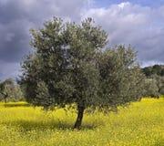 olive de plantation Photos stock
