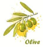 Olive de vecteur Images libres de droits