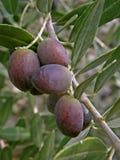 Olive del Croatia Immagine Stock Libera da Diritti