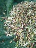 Olive della raccolta fotografia stock libera da diritti