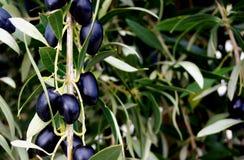Olive della valle di McLaren Fotografia Stock Libera da Diritti