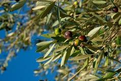 Olive di Montepulciano, Italia fotografia stock libera da diritti