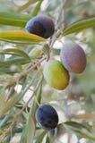 Olive in di olivo Immagini Stock