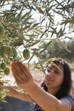 Olive di raccolto Fotografie Stock