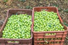 Olive, die auf einem Gebiet in Chalkidiki, Griechenland erntet Stockfoto