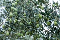 Olive, die auf einem Gebiet in Chalkidiki, Griechenland erntet Lizenzfreie Stockfotografie