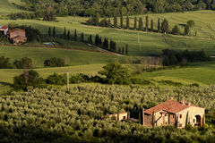 Olive farm in toscana Royalty Free Stock Photo