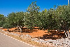 Olive field Royalty Free Stock Photos