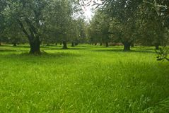 Olive Field. Photo of an Olive field at Autumn Stock Images
