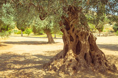 Olive field with big old olive tree roots Stock Photos