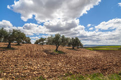 Olive field, Greeny landscape agaisnt blue sky and sun, spanish Royalty Free Stock Images