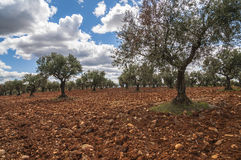 Olive field, Greeny landscape agaisnt blue sky and sun, spanish Stock Photos