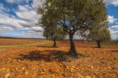 Olive field, Greeny landscape agaisnt blue sky and sun, spanish Royalty Free Stock Image