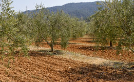 Olive field Royalty Free Stock Photography