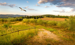 Olive field in Tuscany Royalty Free Stock Photo
