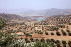 Olive fields Royalty Free Stock Photos