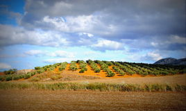 Olive fields, Andalusia, Spain Stock Image