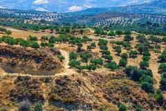 Olive fields on Crete Island in Greece Stock Image