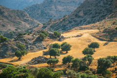 Olive fields on Crete Island in Greece Royalty Free Stock Image