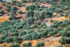 Olive fields on Crete Island in Greece Stock Images