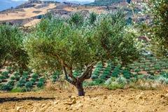 Olive fields on Crete Island in Greece Royalty Free Stock Photo